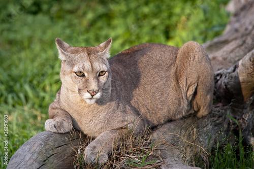 Plexiglas Puma Puma or Cougar in Patagonia - Puma concolor