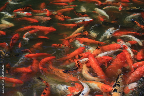 Many red carps in a pond, Guadeloupe island, Caraibes