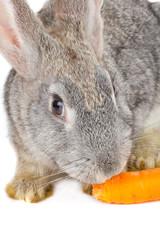 close-up rabbit eating carrot