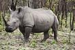 Постер, плакат: Носорог