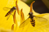 Hoverfly on a yellow
