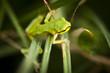 Zielona żabka rzekotka drzewna na trawie