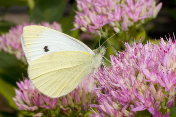cabbage white, Pieris rapae, nectaring on a pink flower