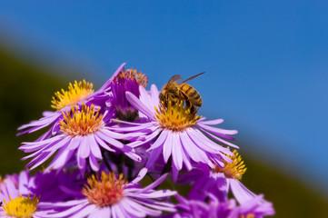 abeille butinant des fleurs
