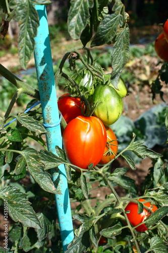 tomates sur tuteurs