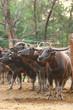 Buffalo in farm, Thailand