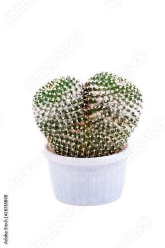 Two cactus in pot