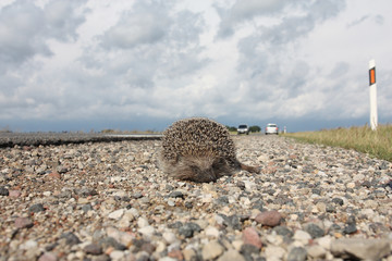 Dead hedgehog on a road