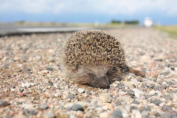 Dead hedgehog on a roadside
