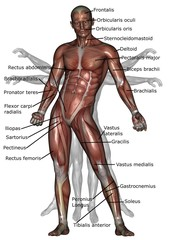anatomy of human muscles (front)