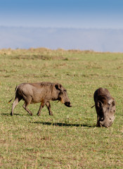 Two warthogs grazing in masai mara