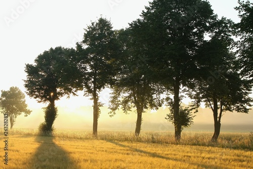 Trees in a misty field at dawn
