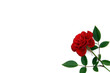 rosellina su fondo bianco