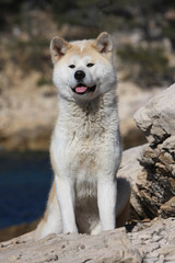akita inu assis sur les rochers