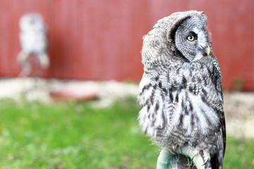 An owl, Strix nebulosa