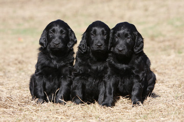 three young flat coated retriever together