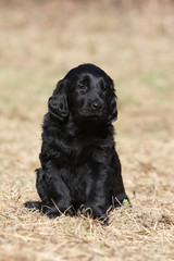puppy flat coated retriever outdoor