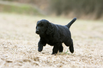 jeune flat coated retriever walking