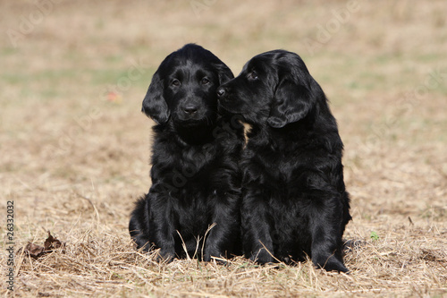 deux chiots flat coated retriever assis tendrement