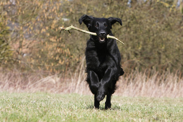 flat coated retriever oreilles au vent