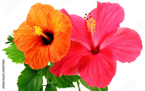 fleurs d 39 hibiscus photo libre de droits sur la banque d 39 images image 26337663. Black Bedroom Furniture Sets. Home Design Ideas