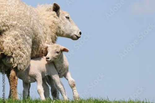 Foto Spatwand Schapen Schaf mit zwei Lämmern