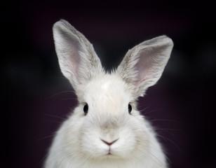 Coniglio nano bianco