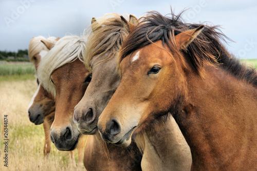 mlode-konie-islandzkie-iii