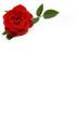 rosa rossa su foglio bianco