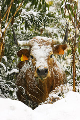 Cow with snow on the bush
