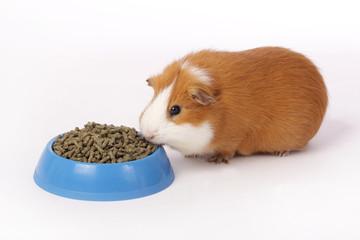 cobaye mangeant granulés