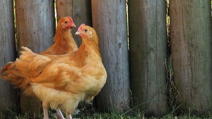 Road Island Red hens in barnyard