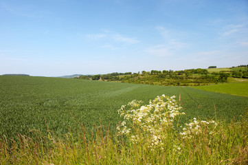 Landscape with corn fields