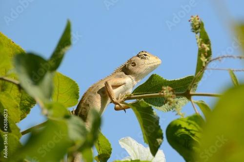 Chameleon - 26386273