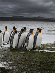 Group of King penguins walking