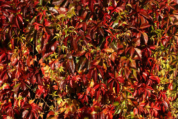 Autumnal vine leaves covering wall