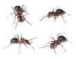 Horse ants isolated on white background.