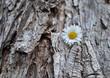 Gänseblümchen auf Baumrinde