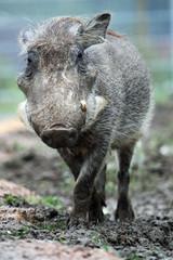 1010013 - Warzenschwein