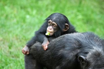 1010016 - Schimpansen-Baby
