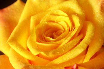 Close up of blooming yellow rose