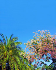 blossoming tropical tree and palm tree