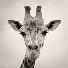 vintage sepia toned image of a Giraffes Head