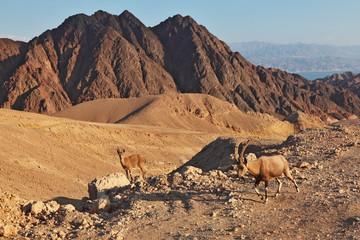 Family wild mountain goats in desert