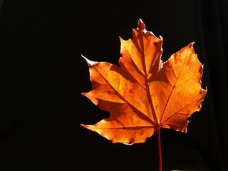 rudy liść