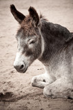 old donkey lying in the sand