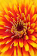 Zinnia flower background