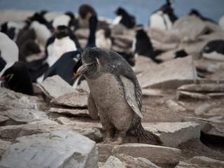 Dirty Rockhopper Penguin