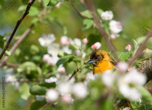 Baltimore Oriole Hidden in Blossoms