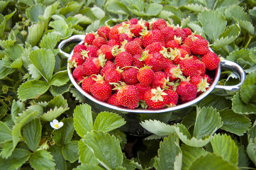 Bowl of strawberries with strawberry plants